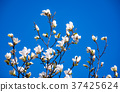 magnolia flowers on a blue sky background 37425624