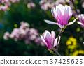 Magnolia flower blossom in spring 37425625