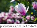 Magnolia flower blossom in spring 37425626