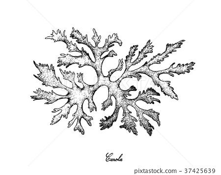 Hand Drawn of Carola Seaweed on White Background 37425639