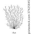 Hand Drawn of Mozuku Seaweed on White Background 37425645