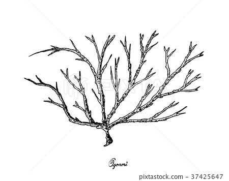 Hand Drawn of Ogonori Seaweed on White Background 37425647