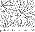 Hand Drawn of Ogonori Seaweed on White Background 37425659
