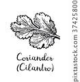 Coriander ink sketch. 37425800