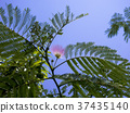 Silk Tree, vegetation, vegetative 37435140