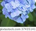 繡球花 漂亮 瓢蟲 37435141