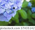 繡球花 漂亮 瓢蟲 37435142