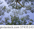 eucalyptus, blue sky, outdoor 37435143