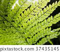 羊齒草 植物 植物學 37435145