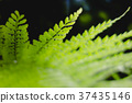 fern, veins of leaf, close up 37435146