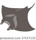 생물, 물고기, 대왕쥐가오리 37437135