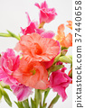 Close up of Gladiolus flower 37440658
