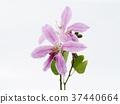 Bauhinia purpurea flower 37440664