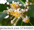 Alexandrian Laurel flower. 37440665