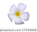 White Frangipani flower. 37440666