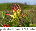 Flame lily flower. 37440667