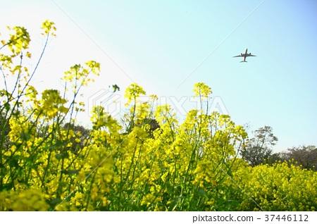 Rape flower field and plane 37446112