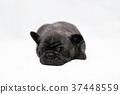 프렌치 불독 강아지 37448559
