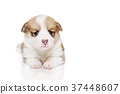 彭布洛克威爾士科基犬 小狗 毛孩 37448607