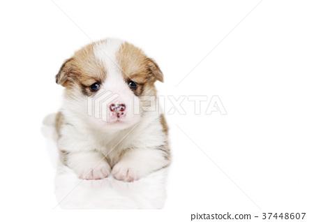코기 강아지 37448607
