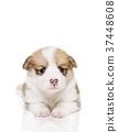 彭布洛克威爾士科基犬 小狗 毛孩 37448608
