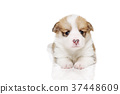 彭布洛克威爾士科基犬 小狗 毛孩 37448609