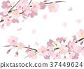 벚꽃의 프레임 _2 37449624