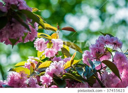 pink flowers of sakura branches 37455623