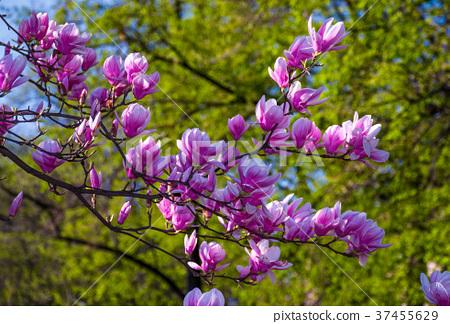 Magnolia flower blossom in spring 37455629