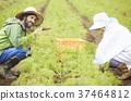 菜收穫農夫婦女和外國人 37464812