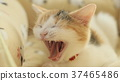 แมวสูญเสียการก่อสร้าง 37465486