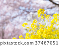 rape, rape blossoms, spring 37467051