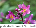 orchid flower Bloom in the flower garden Can be 37468648