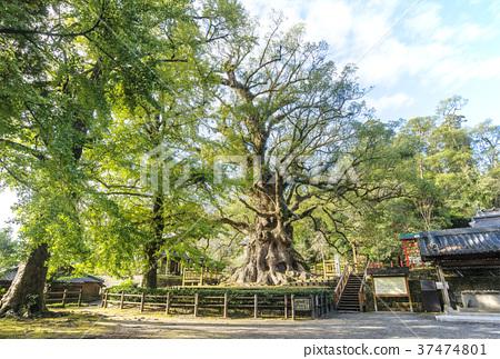 가모의 상자 가모 하치만 신사 가고시마 여행 일본 제일의 녹나무 37474801