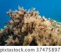 Brown algae bush in Mediterranean sea 37475897
