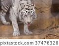 오무 타시 동물원 화이트 타이거, 37476328