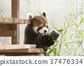 小熊貓 竹草 吃 37476334