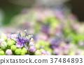 hydrangea, lantana, various 37484893