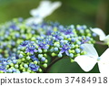 hydrangea, lantana, various 37484918