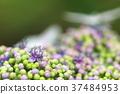 hydrangea, lantana, various 37484953