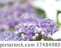 hydrangea, lantana, various 37484980