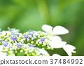hydrangea, lantana, various 37484992