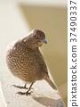 藍磯鶇 女性 雌 37490337