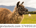 Alpaca brown colour close up farm animal 37495610