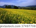 Rape blossoms of rape blossoms park 37497708