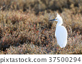 Snowy Egret with wisply plumes on head on the hunt 37500294