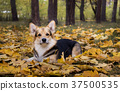 Dog  on a walk in a beautiful autumn forest. 37500535