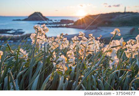 Minami-Izu Shimoda Nagizaki在早晨的陽光照亮的田野水仙 37504677