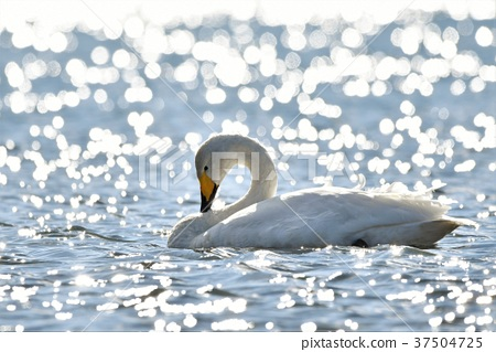 Swans in sparkling water 37504725