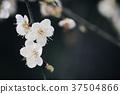 梅 花朵 花卉 37504866
